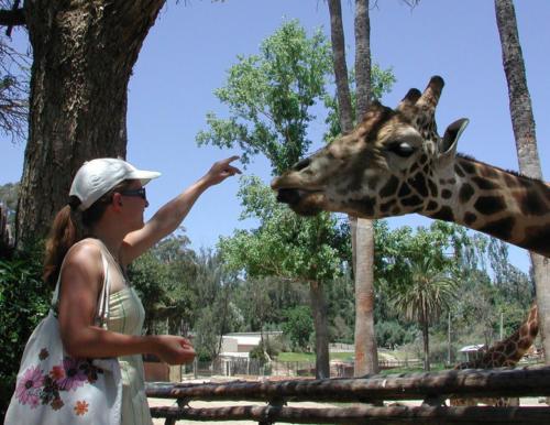 San Diego leisure feedingiraffe